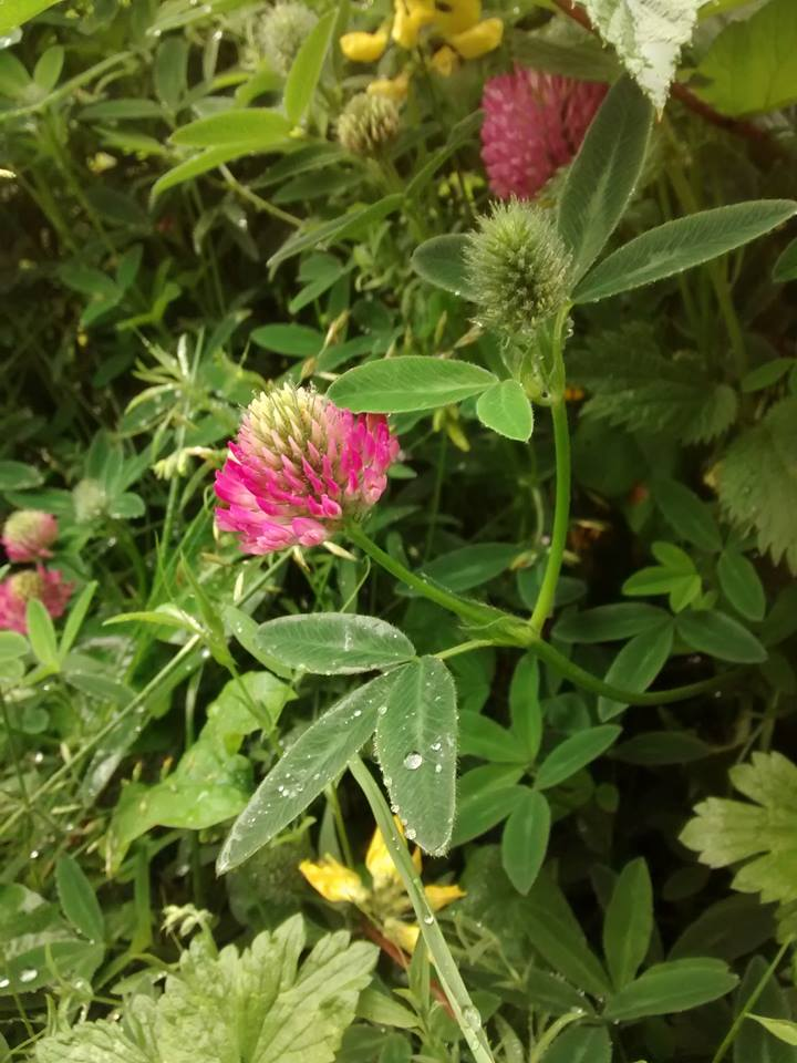 Beautiful red clover - typically bigger than white clover, with longer leaves.